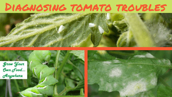 Diagnosing Tomato Trouble