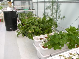 Grow with hydroponic systems in greenhouse